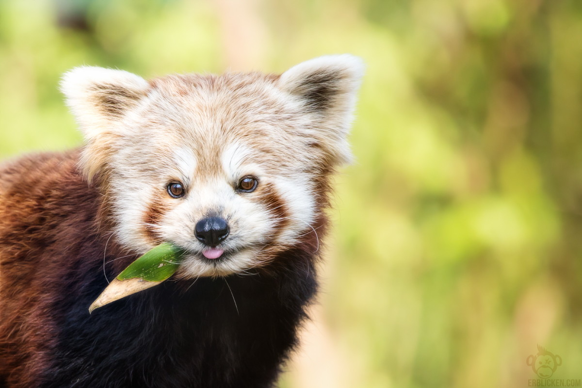 Photos of Red Pandas Slacking Off That Are Really Cute