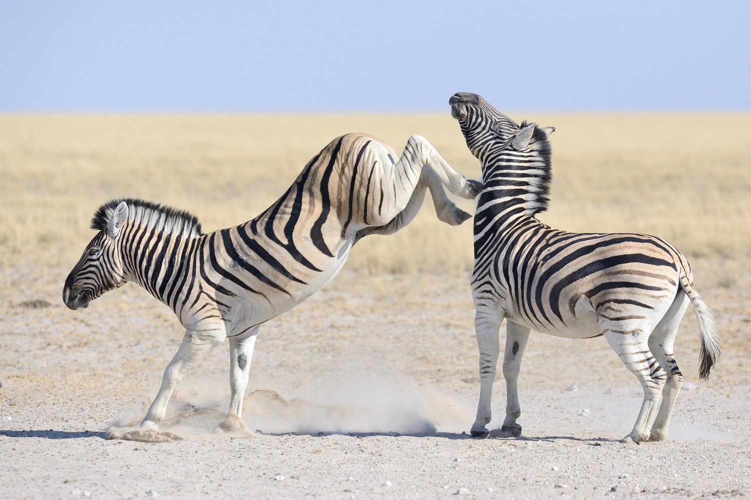 Zebra Fights Zebra In Wild Waterhole Battle