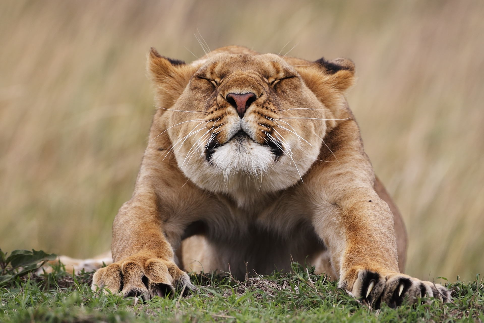 The Wild Story Behind this Stretching Lioness Photo—Revealed
