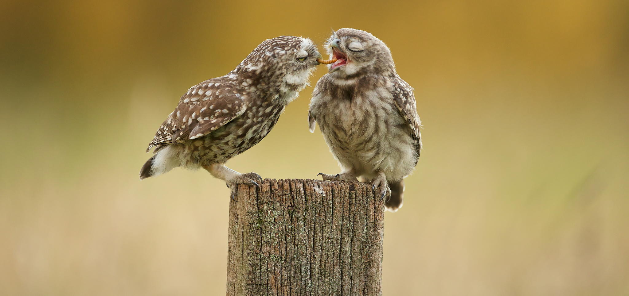 What's The Story Behind This Cute Photo Of Little Owls Sharing Grub?