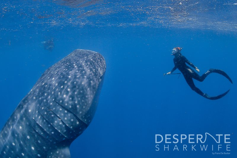 Cuylaerts diving with a whale shark