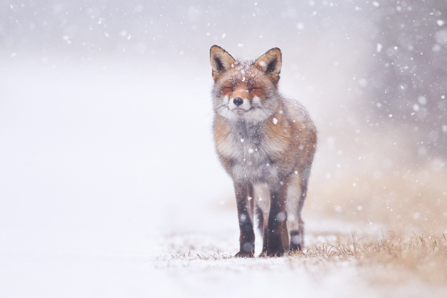 30 Adorable Photos Of Foxes In The Snow