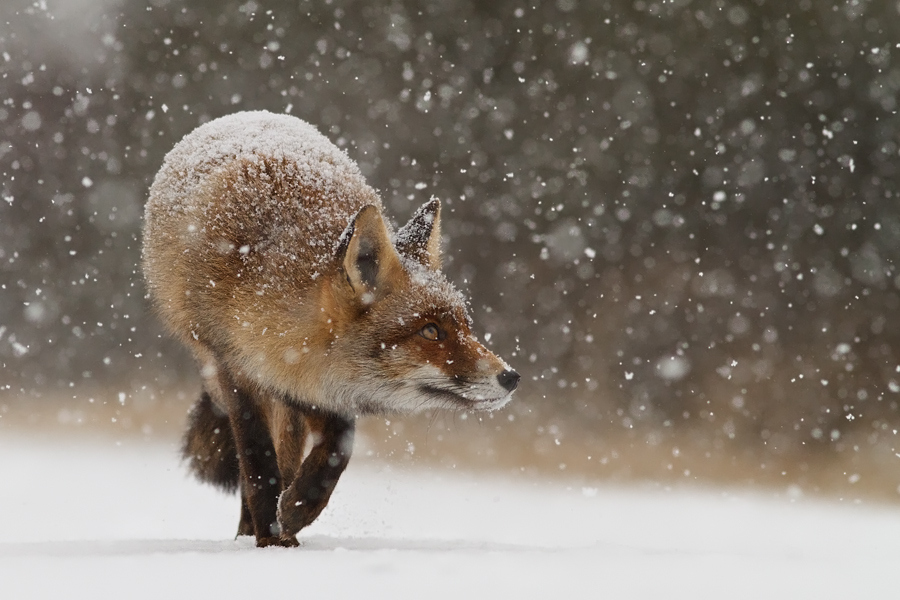 7 Tips for Photographing Foxes and Other Animals in the Snow