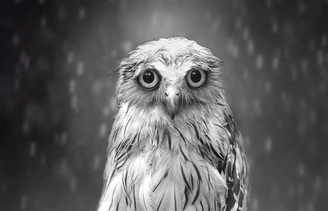 Sham's Story: How a Sad Looking Owl Made for a Very Happy Photographer