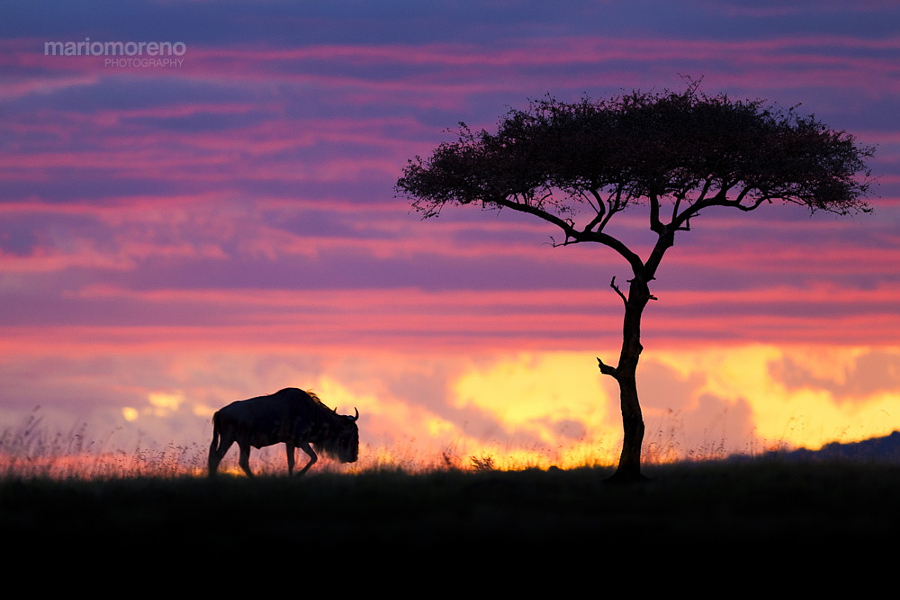 A Wildebeest and an acacia tree silhouetted against a Masai Mara sky on fire.
