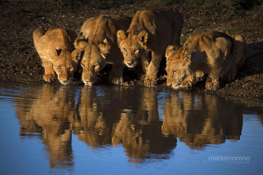Lions of Mara