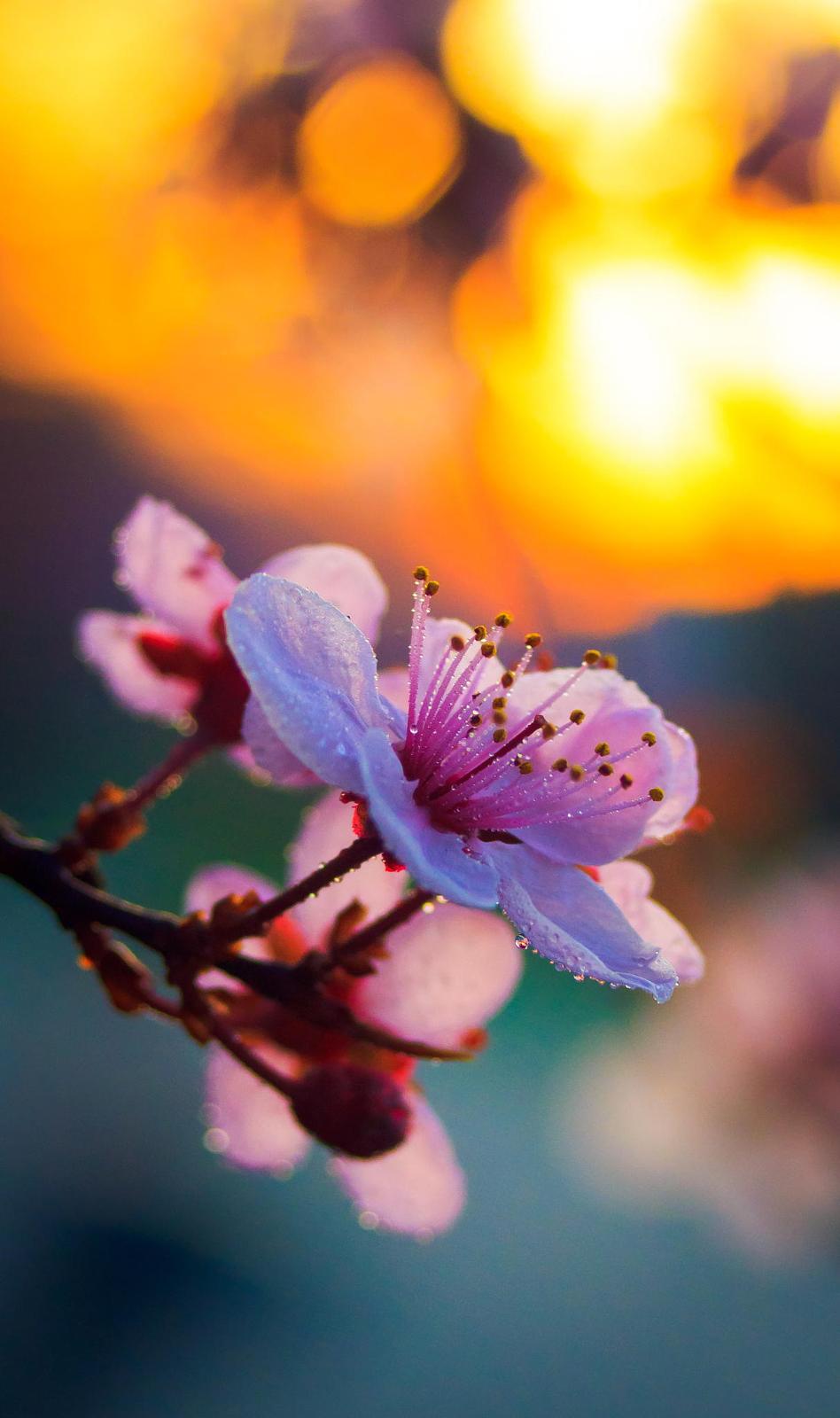 Cherry blossom mirroring the sunset