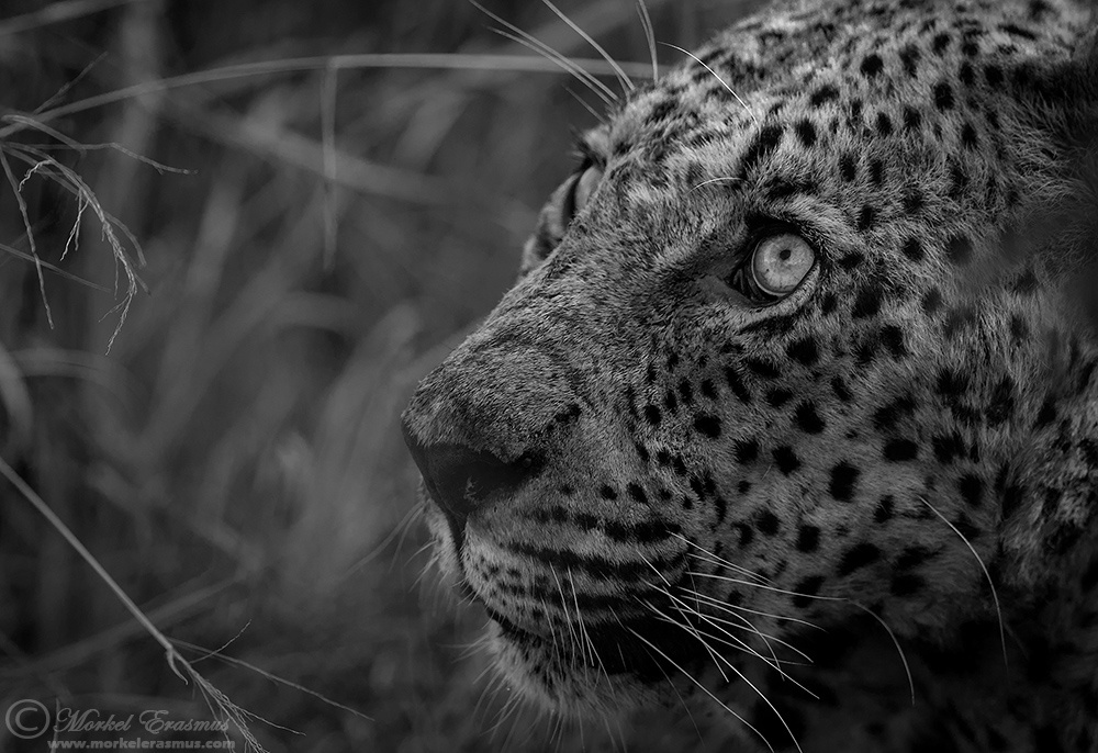 The Powerful Story Behind the Look in This Leopard's Eye