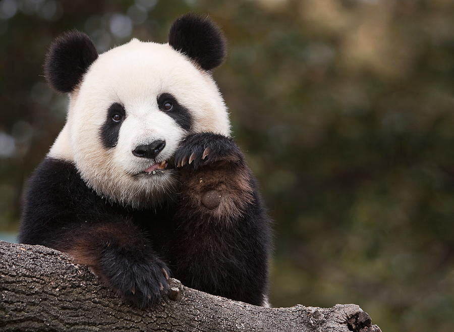 50 Photos of Pandas Looking Bored