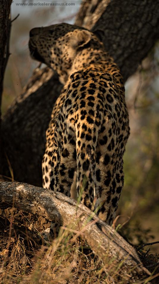 thin_leopard1