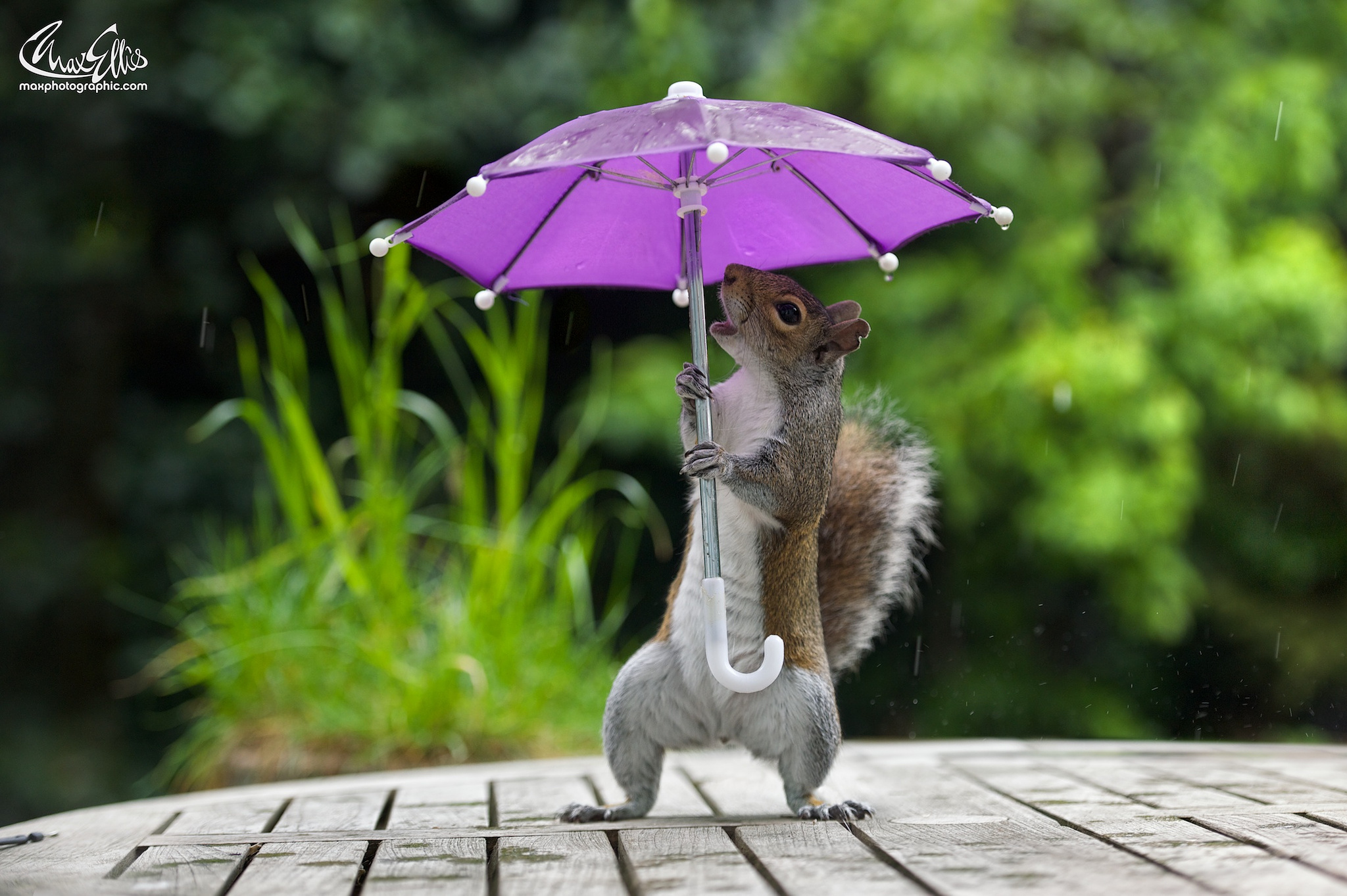 Photographer Gets Squirrel to Pose with a Tiny Umbrella on a Rainy Day