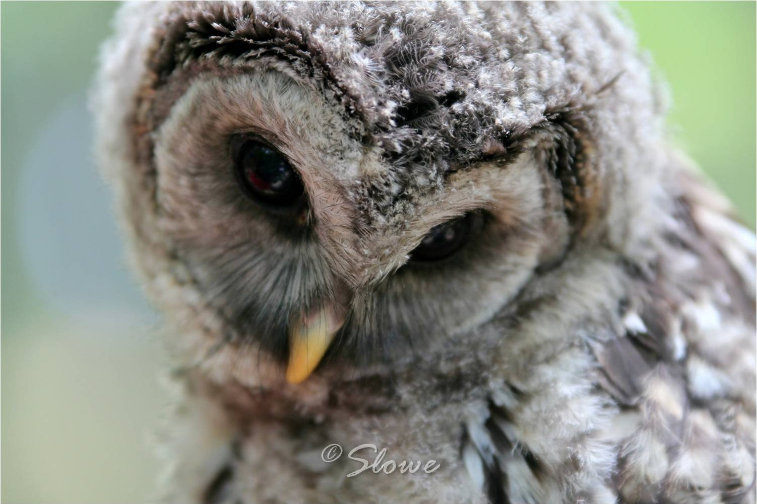 A Portrait of Clack, the Blind Owl