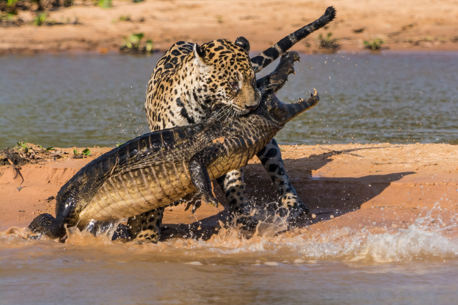 Jaguar Attacks Caiman in This Intense Series of Wildlife Images