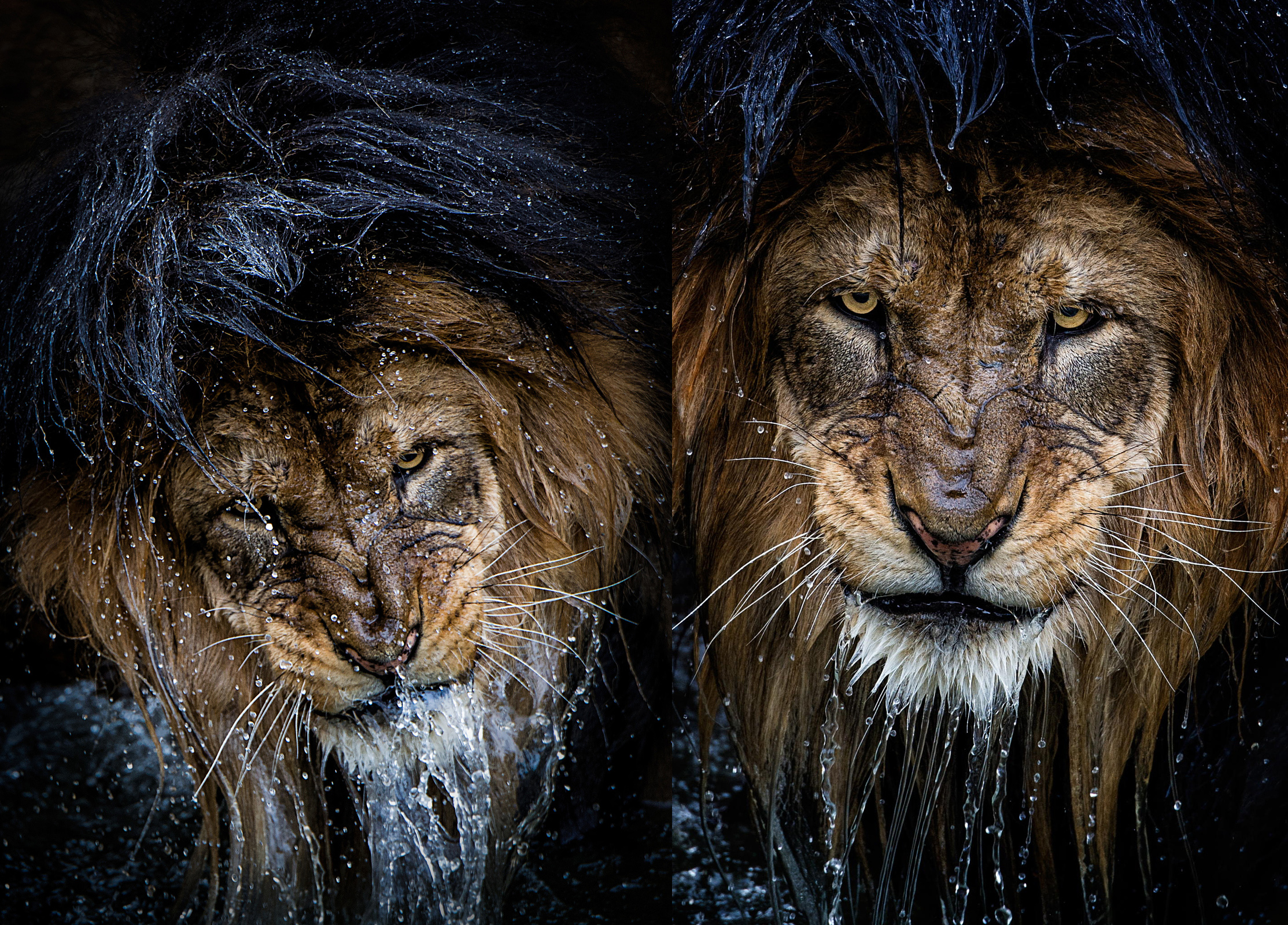 The Story Behind the Most Intense Lion Portrait