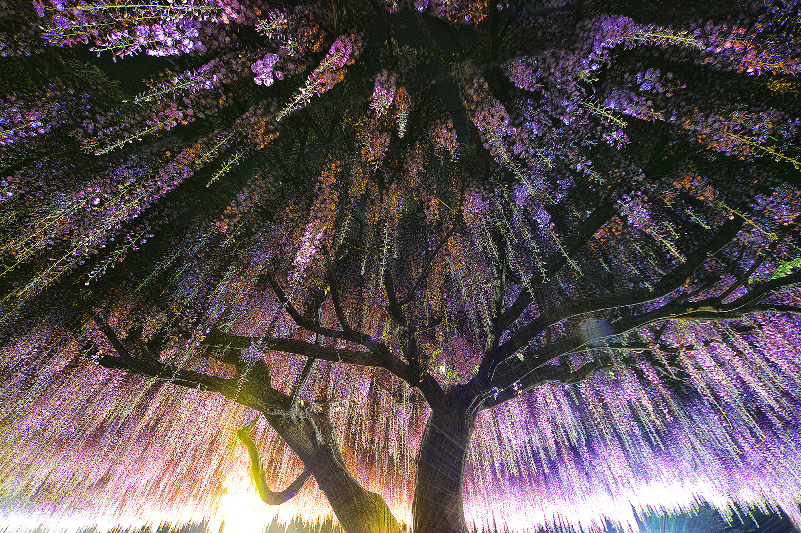 Px Blog The Passionate Photographer Community Striking - Beautiful wisteria plant japan 144 years old