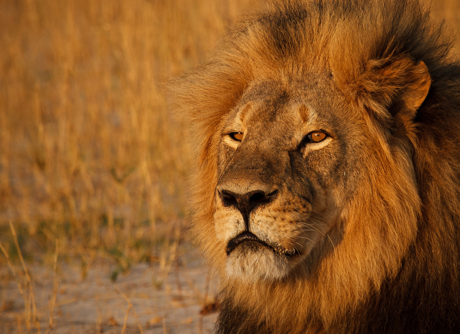 RIP Cecil: 10 Photos of One of the Most Beautiful Lions who Ever Lived