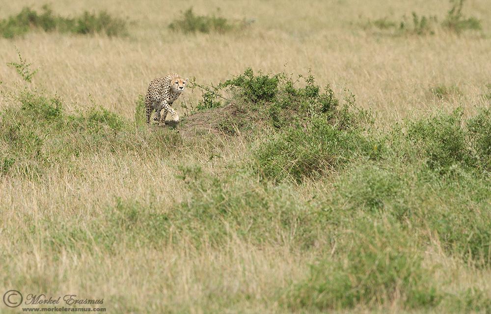 cheetah_01