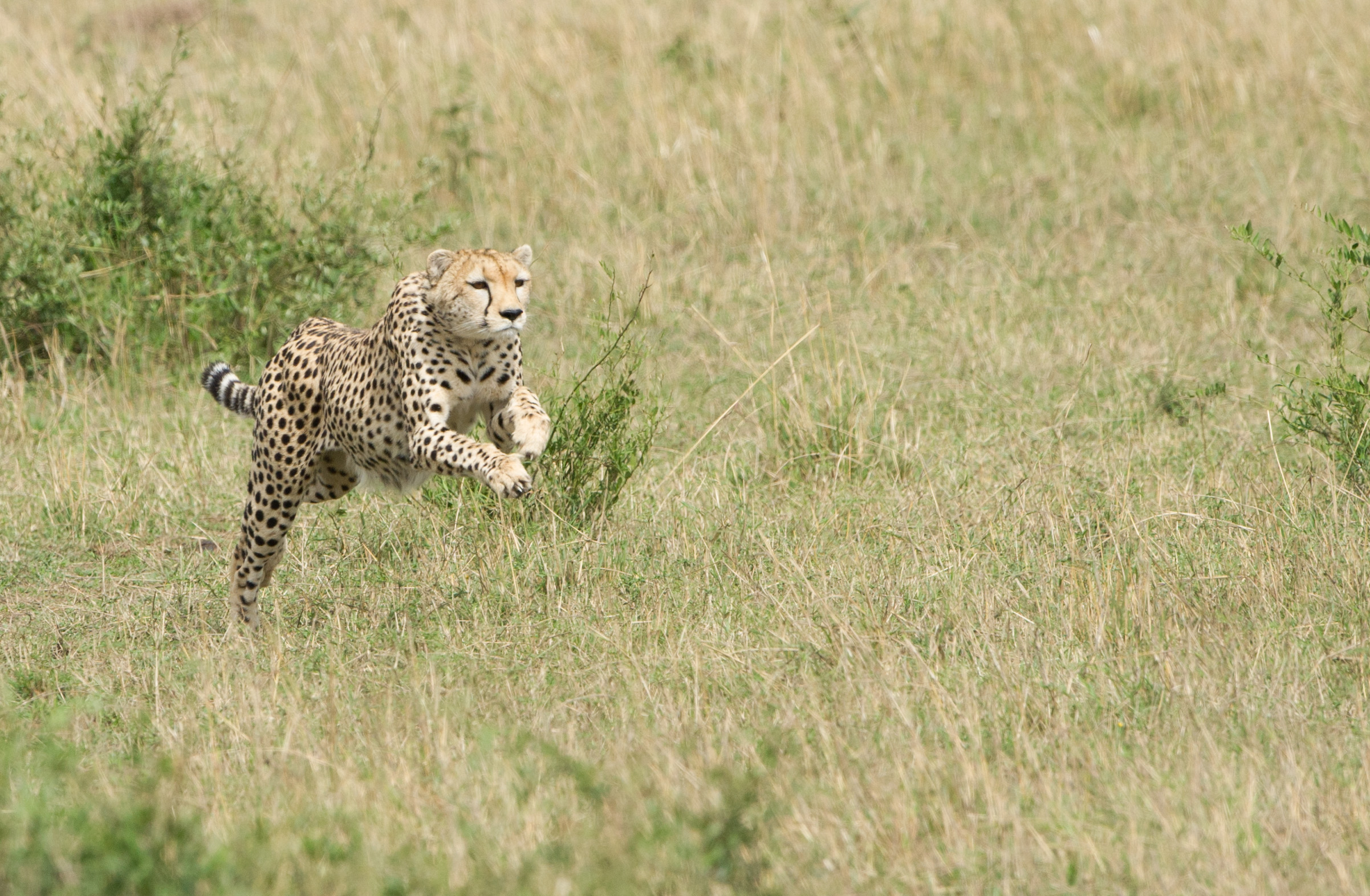 cheetah_02