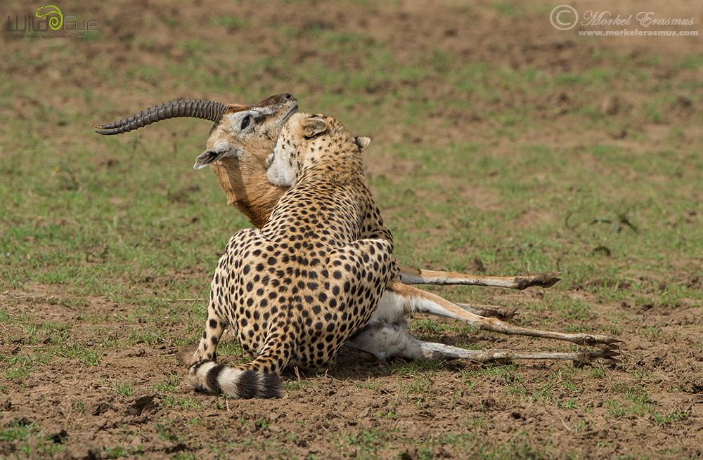 cheetah_07