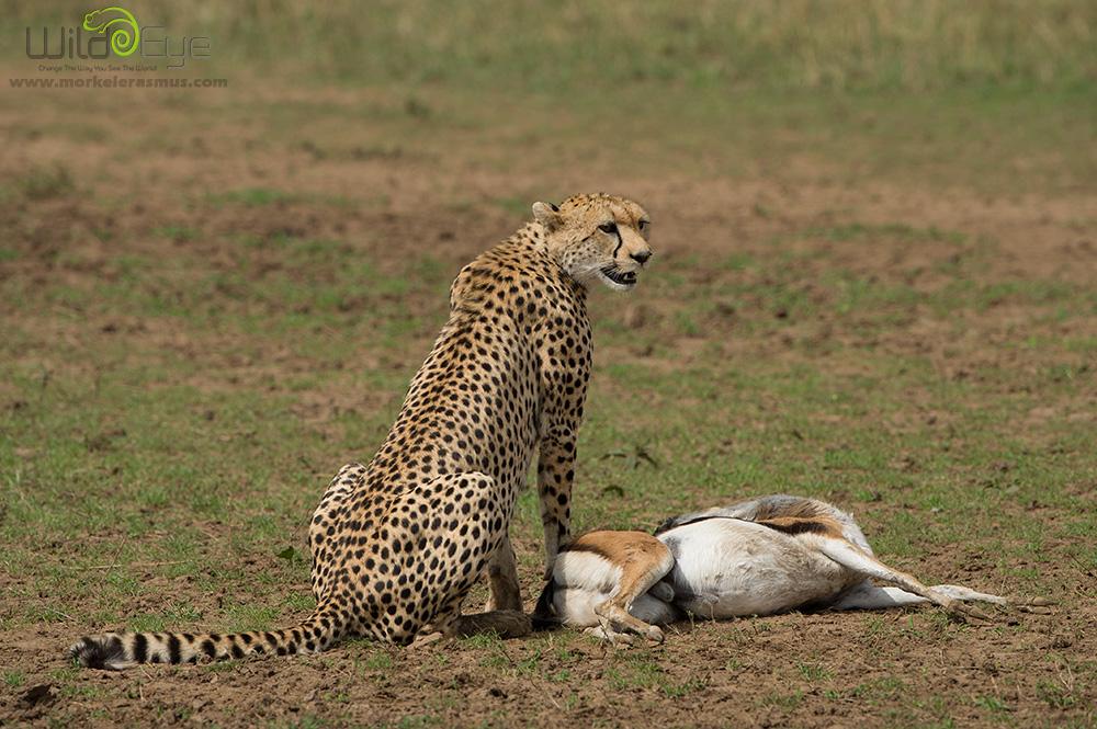 cheetah_08