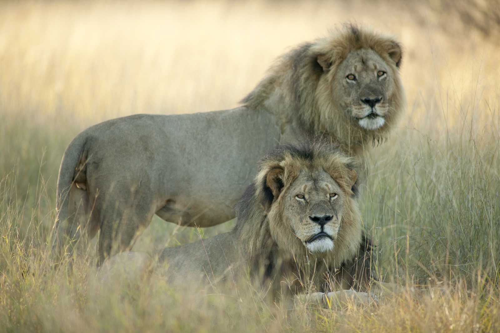 Cecil and Jericho: This is the last known photo of the great Cecil, taken just a month before he was killed. Cecil is laying down in the foreground.