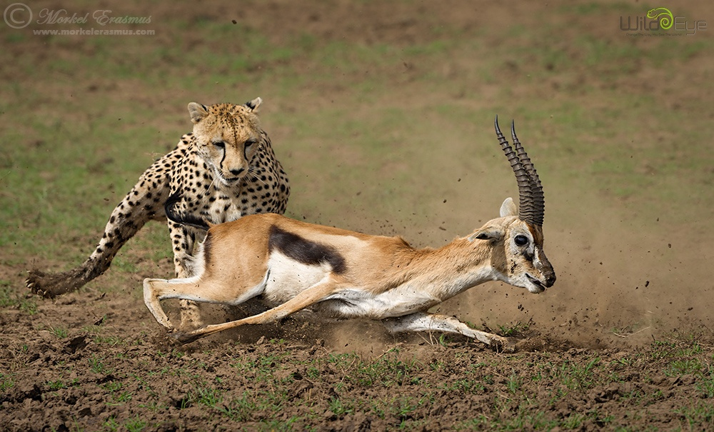 A Gripping Shot-by-Shot Replay of a Cheetah Hunting a Gazelle