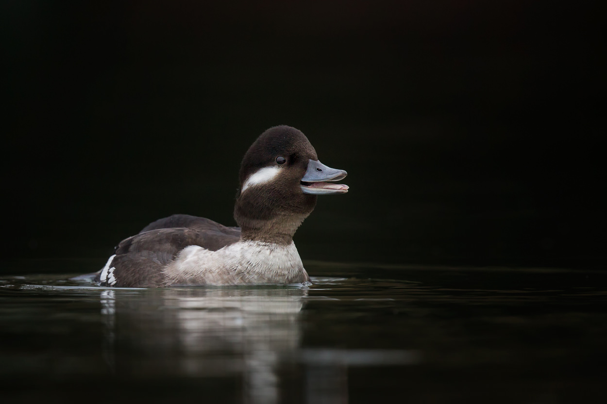 Mrs. Bufflehead