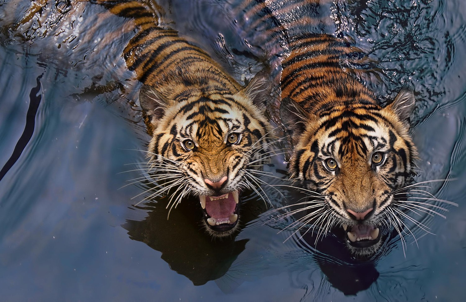 30+ Best Tigers Photos of that Will Leave You Spellbound