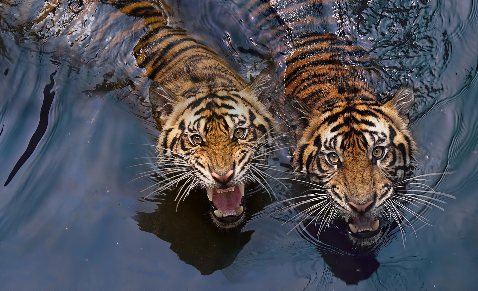 Tiger Photography | 30+ Tigers Photos That Will Leave You Spellbound