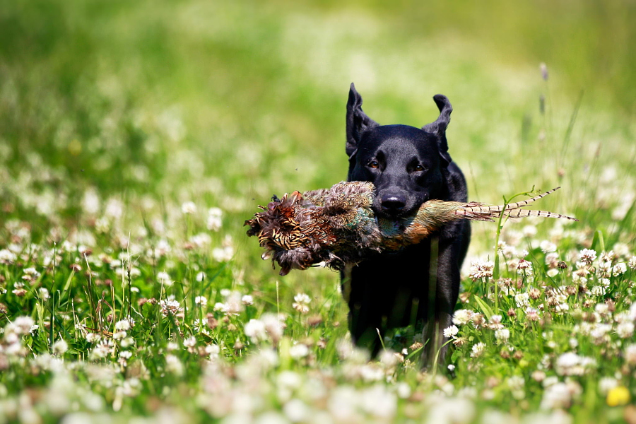 Black Labrador dog with pheasant