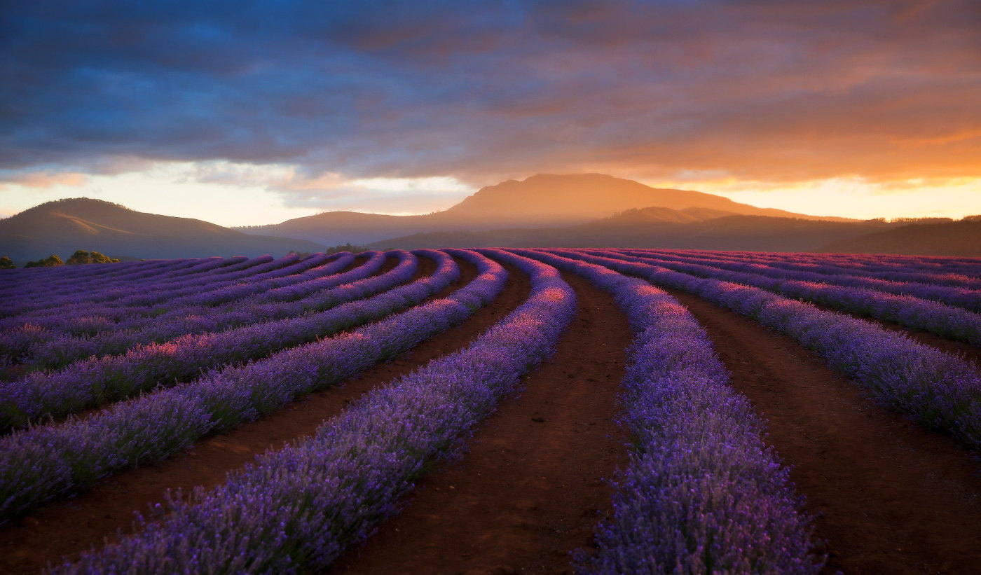 Purple Magic: The Ultimate Lavender Field Photo Collection