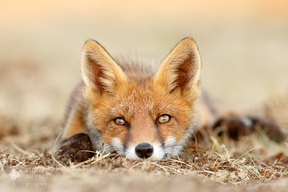 21 Gorgeous Photos of Foxes