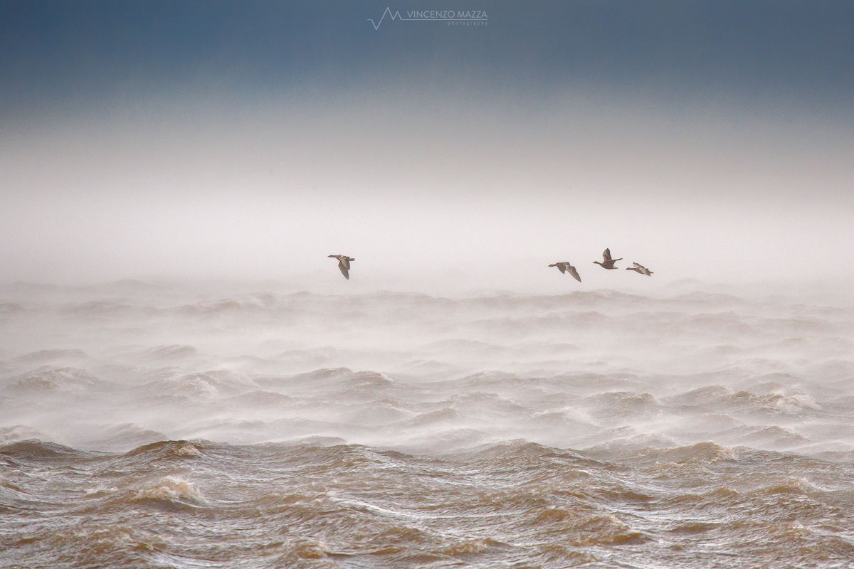 group-of-greylag-geese-flying