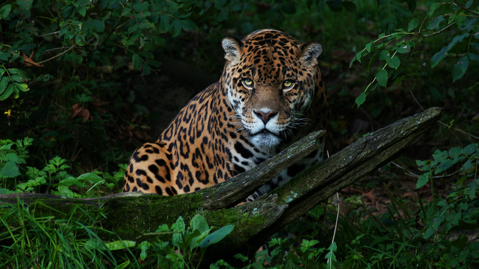 Hugo's Story: Stared Down by Sovereign the Jaguar