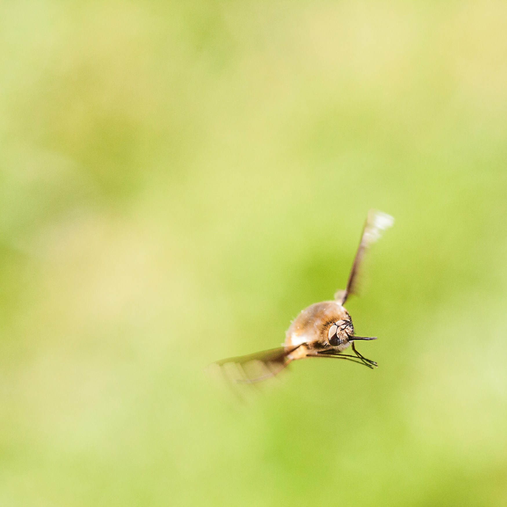 Bee Fly in Flight