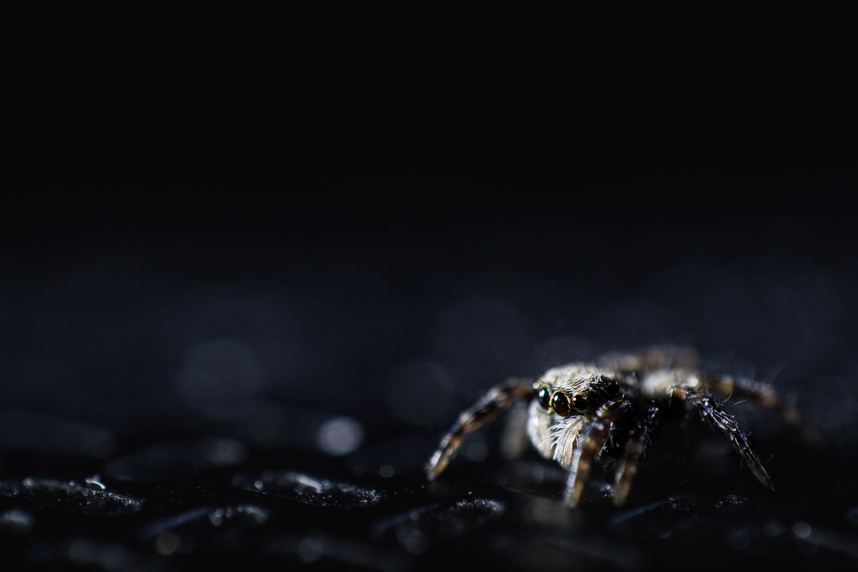 Jumping Spider Extreme