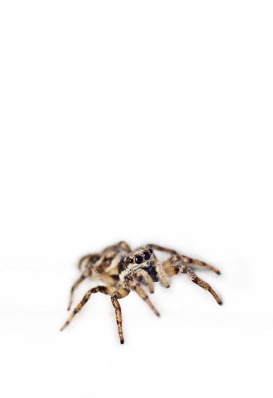 Jumping Spider white