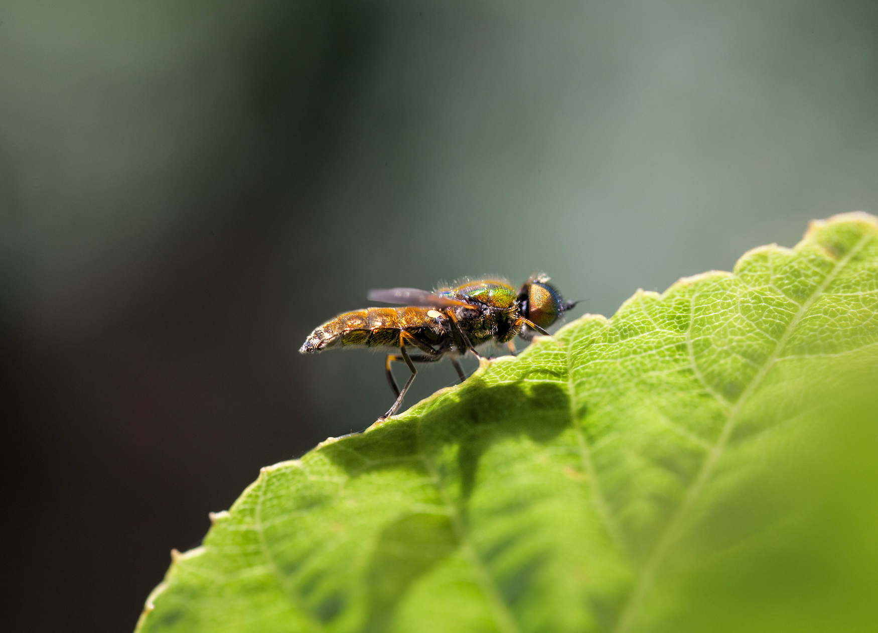 The Colourful Hoverfly