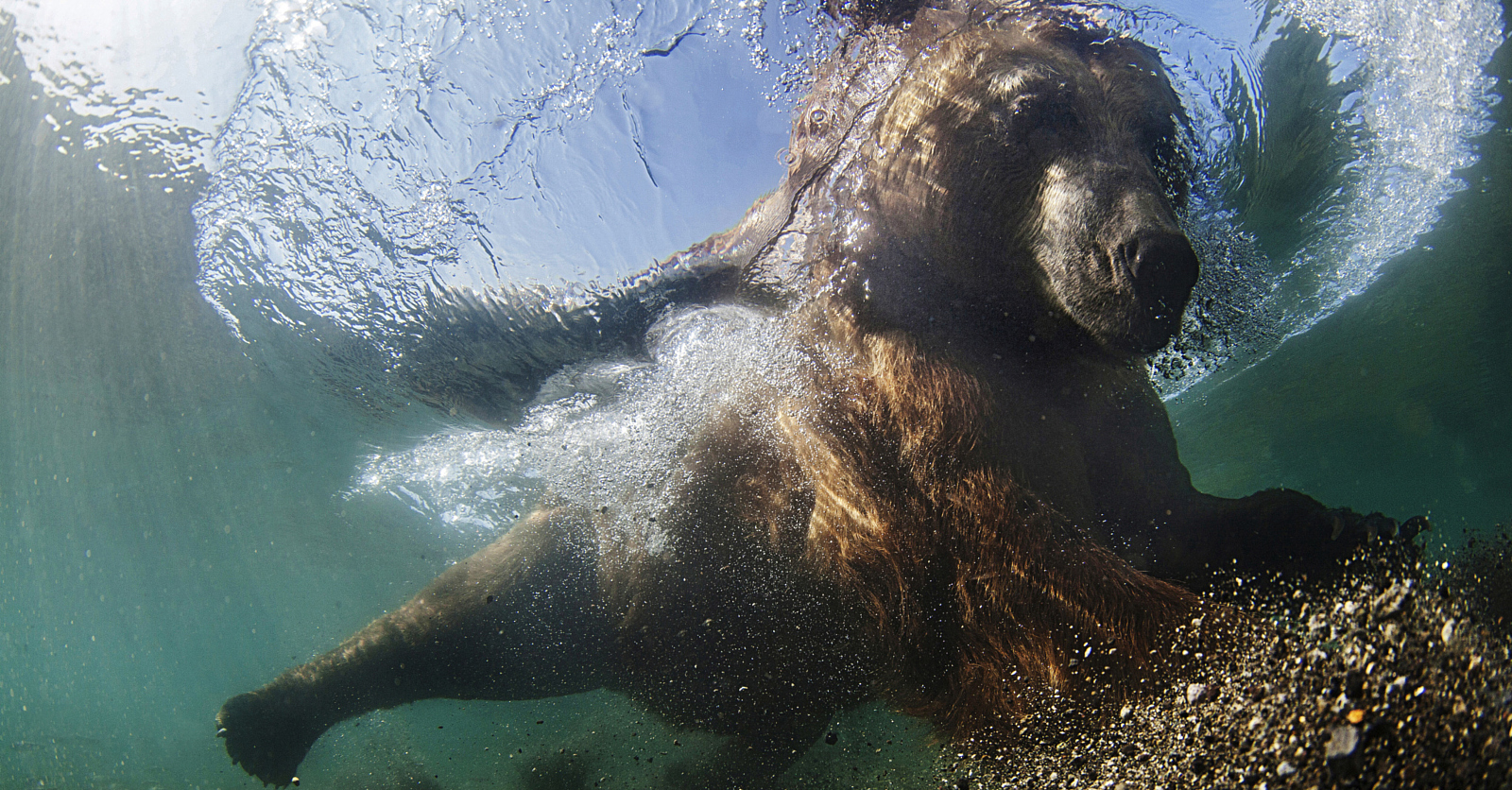 This Amazing Underwater Photo of a Bear Feeding Was Captured from a Cage!