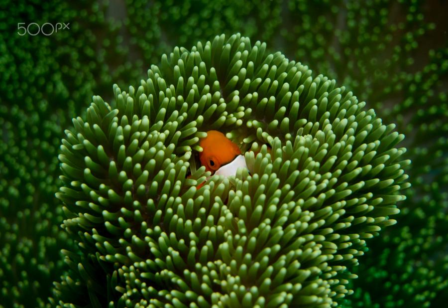 Anemone_fish