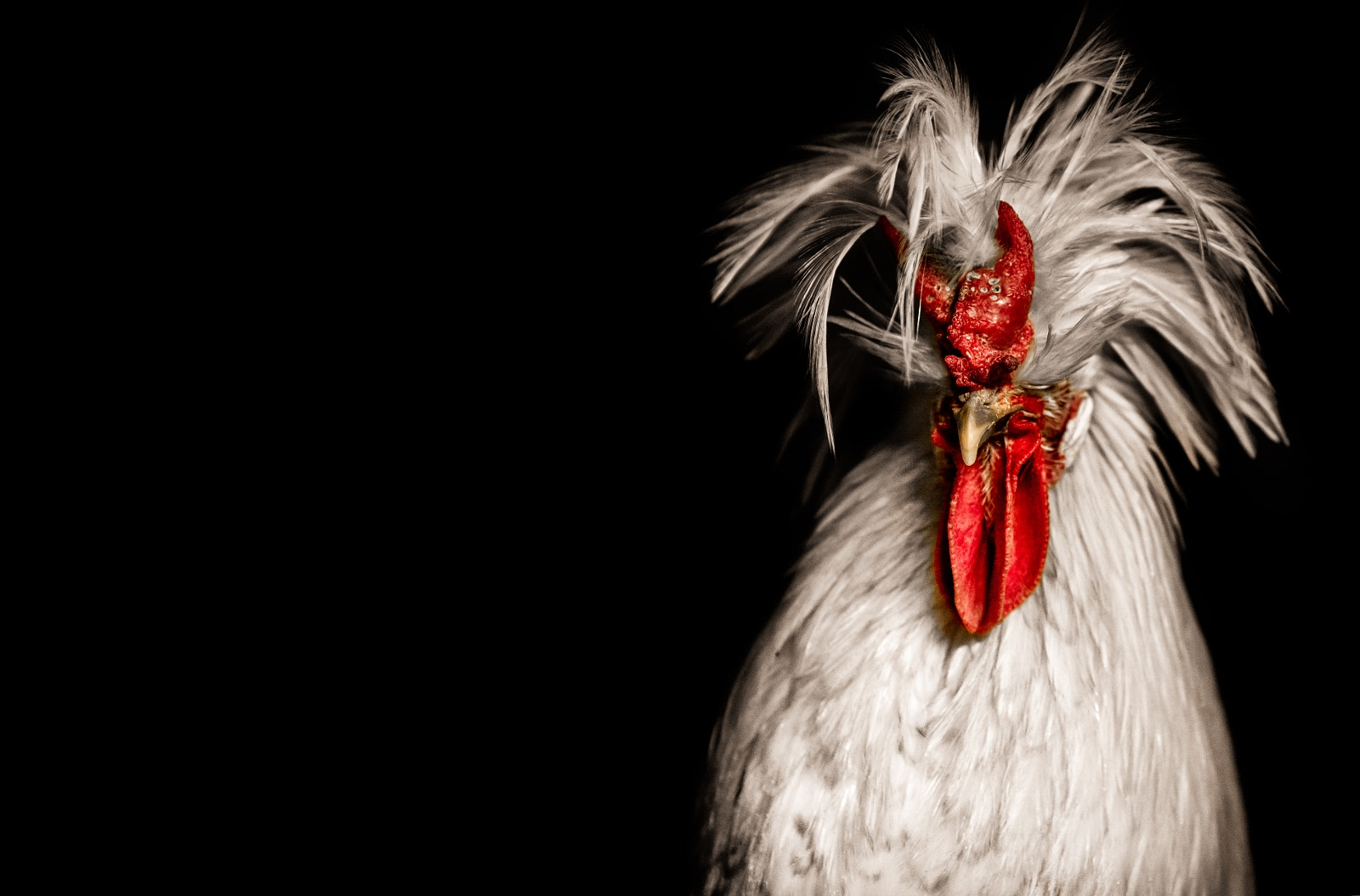 Regal Rooster Photos to Ring in the Lunar New Year!